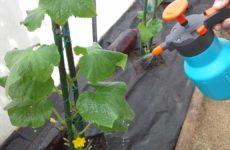 Китайская смесь для опрыскивания огурцов: как приготовить и правильно обработать растение