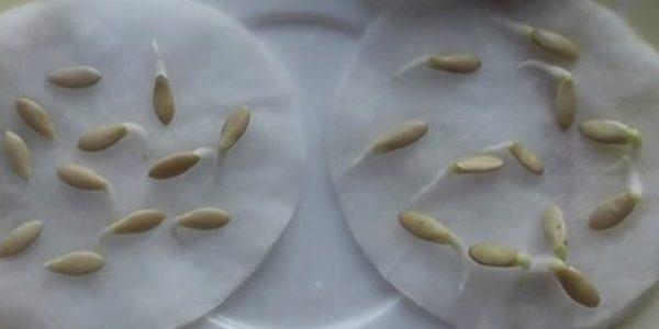 подготовка семян огурцов