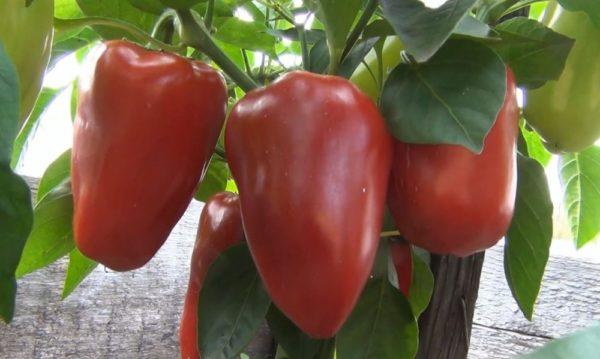 крупный красный перец