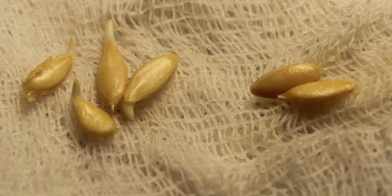 как проверить семена на всхожесть в домашних