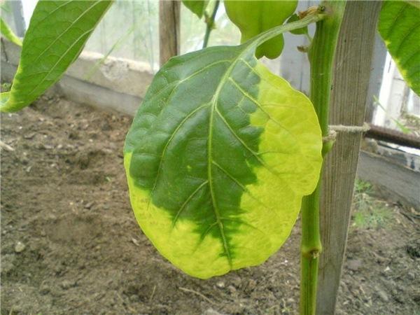 причины побеления листьев у перцев