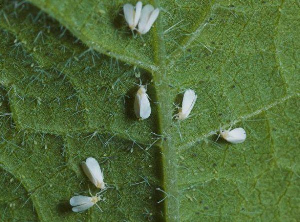 при поливе цветов всплывают белые личинки