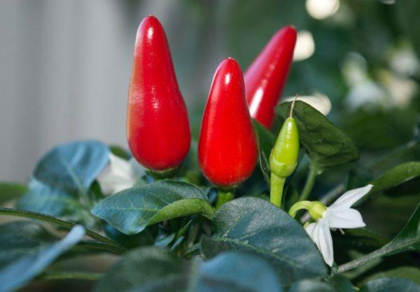 Перец Чили выращивание в домашних условиях на подоконнике или балконе