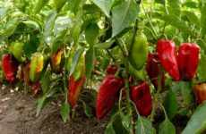 особенности посадки перца на Урале