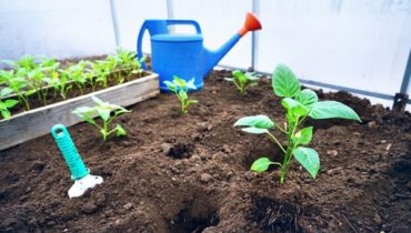 как выращивать перец в теплице