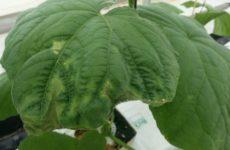 у огурцов закручиваются листья