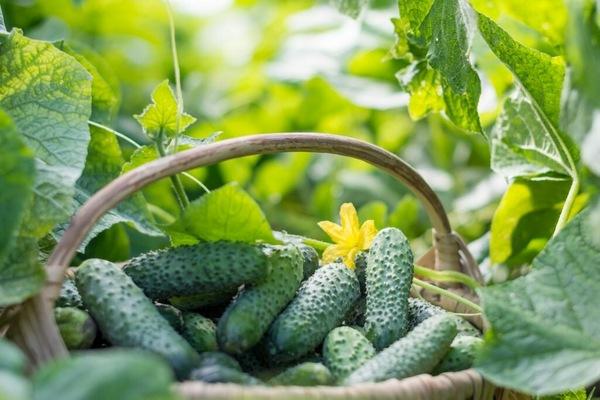 Огурец Метелица: характеристика и описание сорта, отзывы садоводов с фото