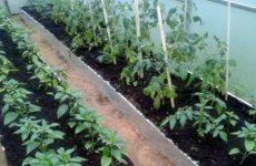 можно ли сажать помидоры и перец рядом