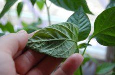 на листьях перца пупырышки