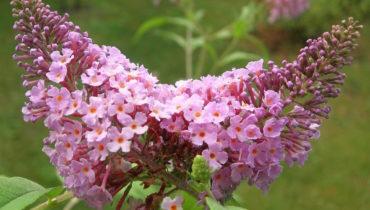 Будлея: виды и сорта с фото, выращивание и уход в открытом грунте, размножение