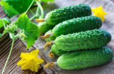Огурец Шмель f1: отзывы, описание и характеристика сорта, выращивание и уход