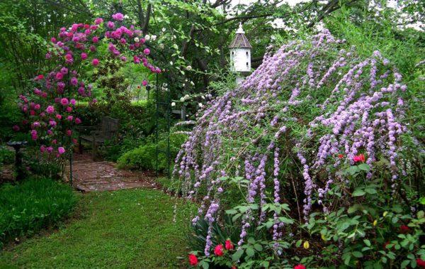 цветущий куст будлеи