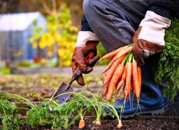 Советы когда убирать морковь с грядки на хранение в 2020 году
