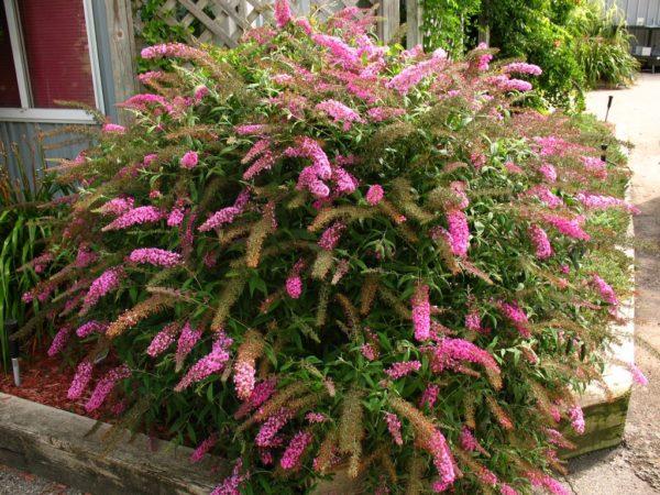 Растения будлея