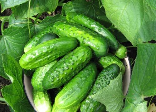 Огурец хабар описание и характеристика сорта урожайность с фото
