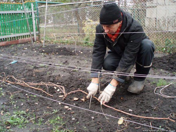 Чем укрыть виноград на зиму в сибири