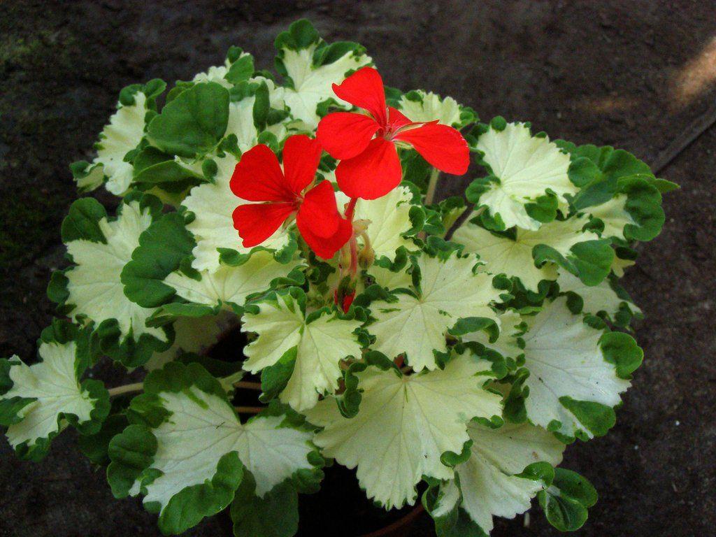 герань с красными листьями фото и название отрываете штангу