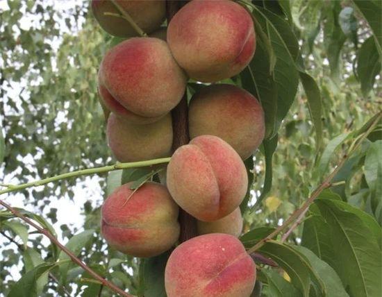сорта колоновидного персика
