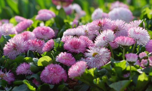 Летние цветы для клумбы фото и названия
