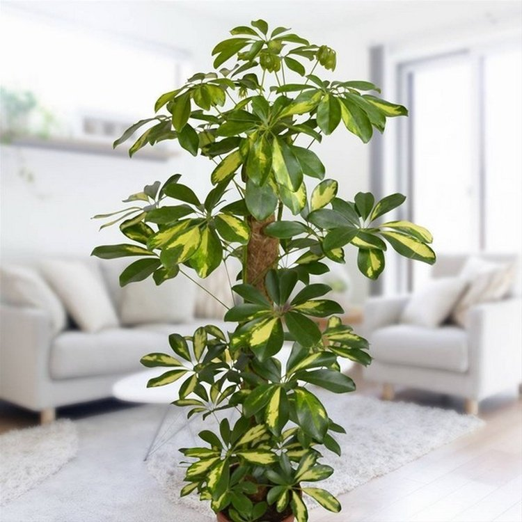 Шефлера цветок: уход в домашних условиях, размножение, фото