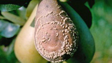 Почему гниют груши на дереве: причины, что делать, профилактика, фото