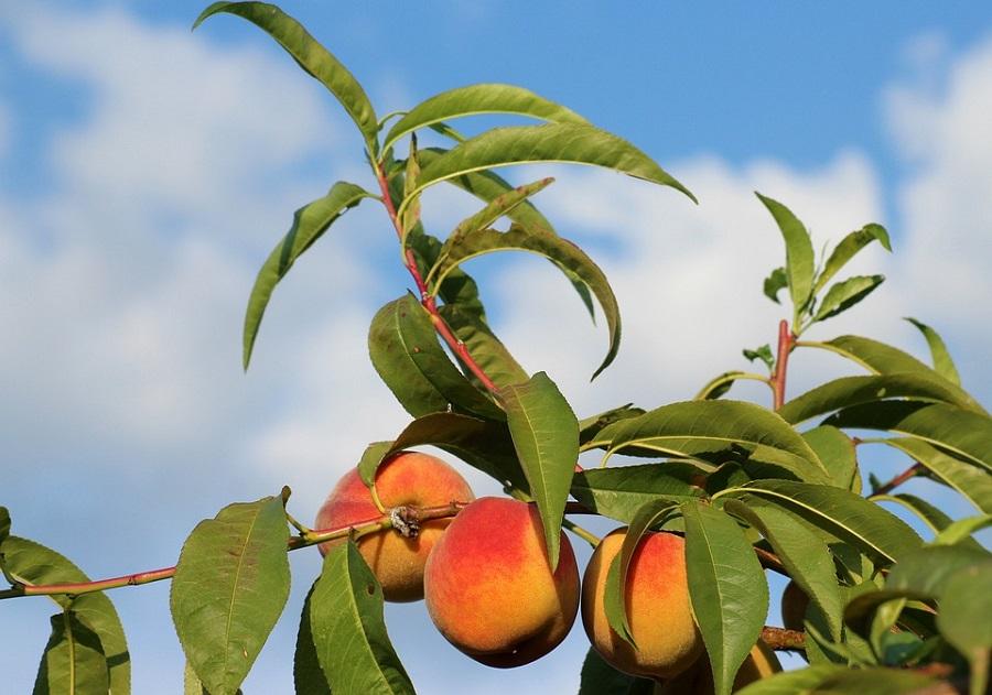 Как выглядит персик: как растет и цветет персиковое дерево, фото