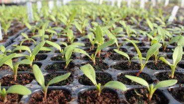 Когда сажать свеклу на рассаду в 2020 году по лунному календарю: таблица благоприятных дней для посадки семян рассадой и в открытый грунт по регионам