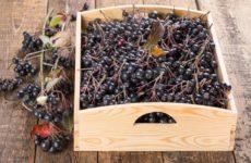 Когда собирать черноплодную рябину в средней полосе и других регионах России: когда она созревает