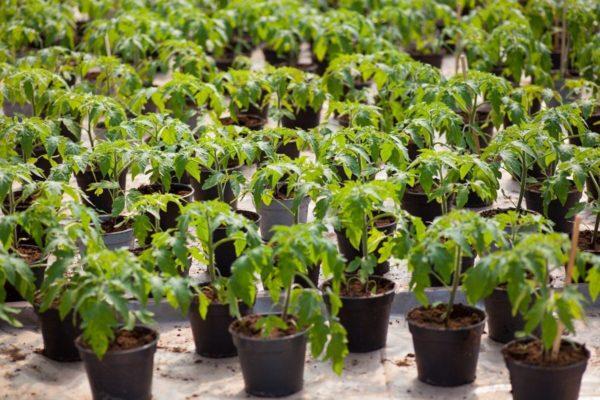как ухаживать за рассадой помидор