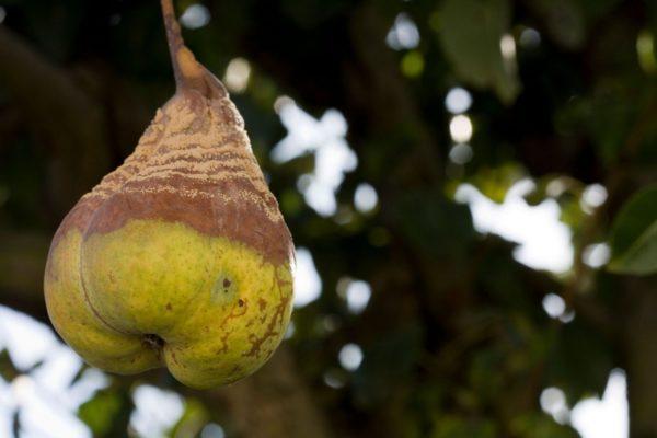 гнилая груша висит на дереве