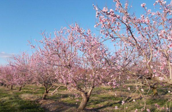 цветущие персиковые деревья