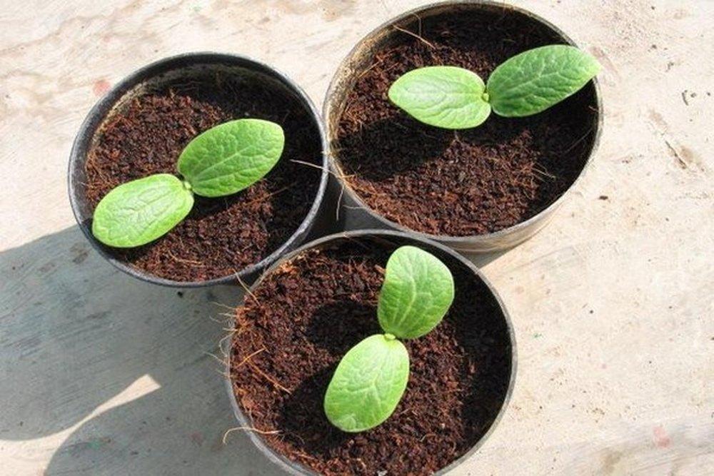 спаржа сажать семенами в открытый