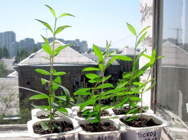 уход за ростками граната