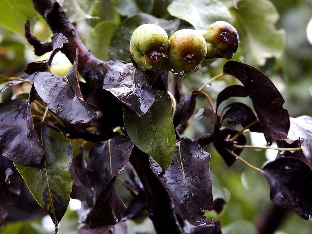 На груше чернеют листья