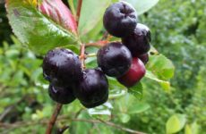 Черноплодная рябина арония
