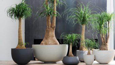 Растение Бокарнея