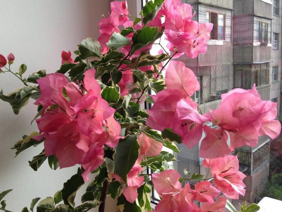 Выращивание бугенвиллии