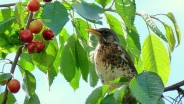 Птица ест ягоды черешни