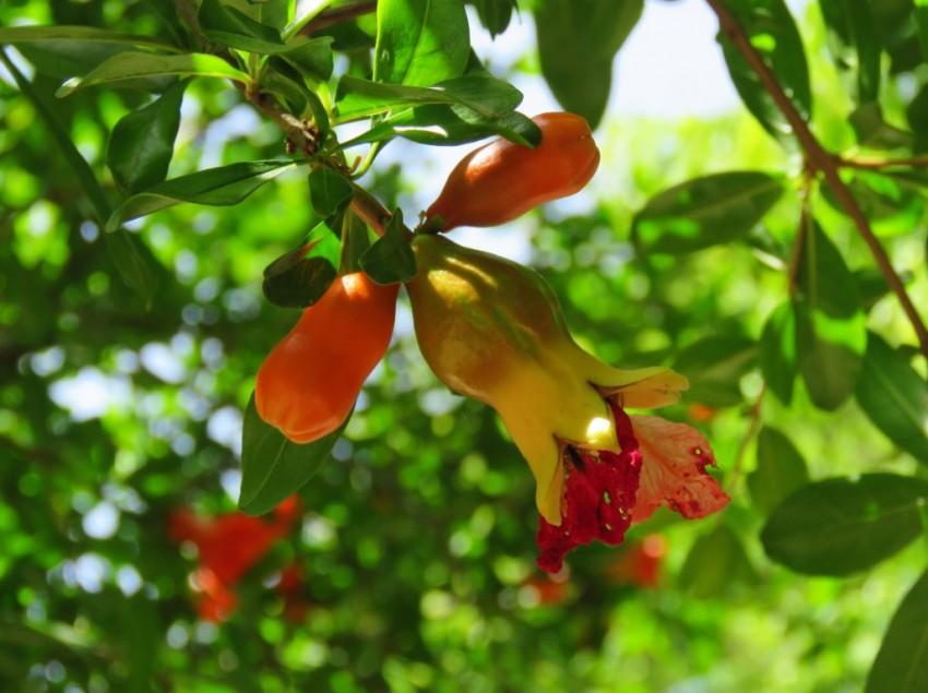 Как цвете гранат в открытом грунте