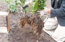 Как размножить грушу из ветки
