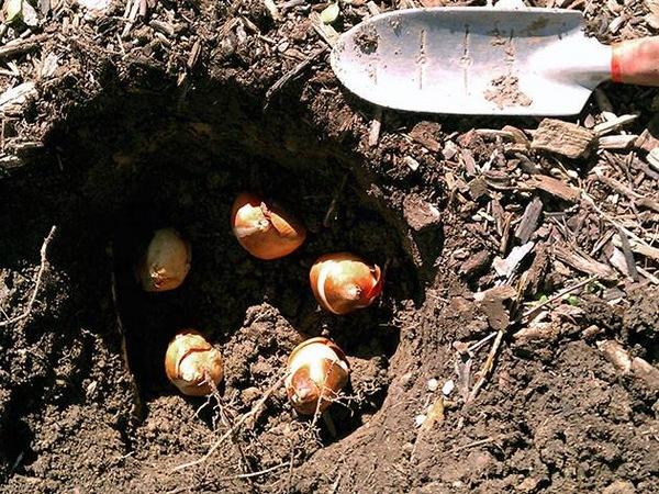 Когда и как посадить тюльпаны весной