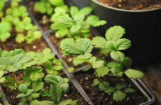 Когда сажать клубнику семенами на рассаду
