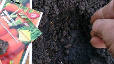 Когда сажать морковь под зиму и весной
