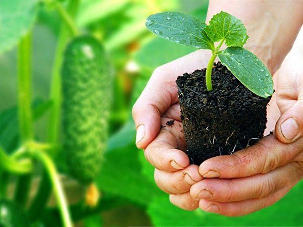 Высаживаем семена огурцов рассадой и в открытый грунт по лунному календарю
