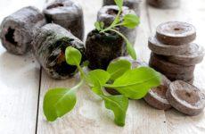 Когда сажать петунию на рассаду