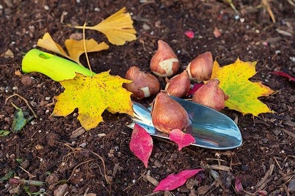 Когда сажать тюльпаны осенью в открытый грунт