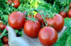 Новые сорта томатов сибирской селекции