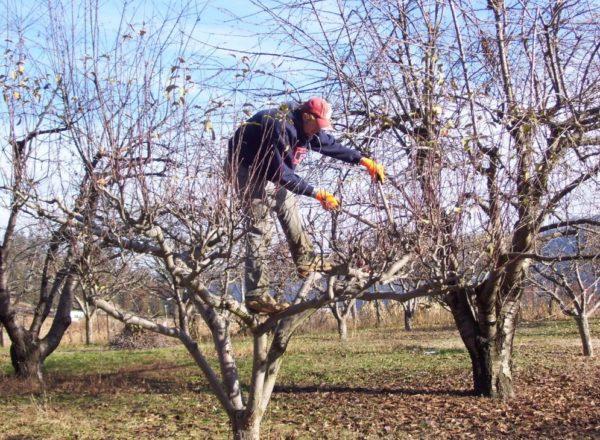 Как омолодить старый персик