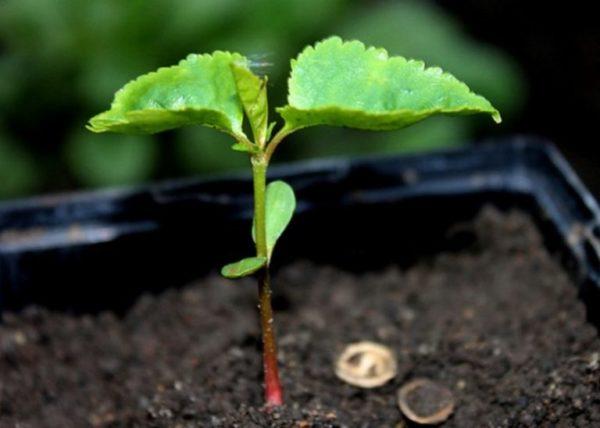 Как выращивать черешню в домашних условиях?