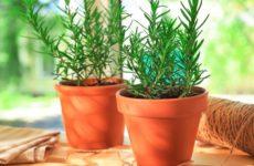 Розмарин: выращивание в квартире